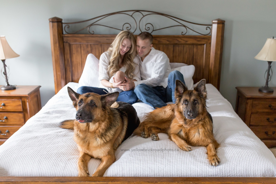kitchener newborn lifestyle photography dogs on the bed with new parents